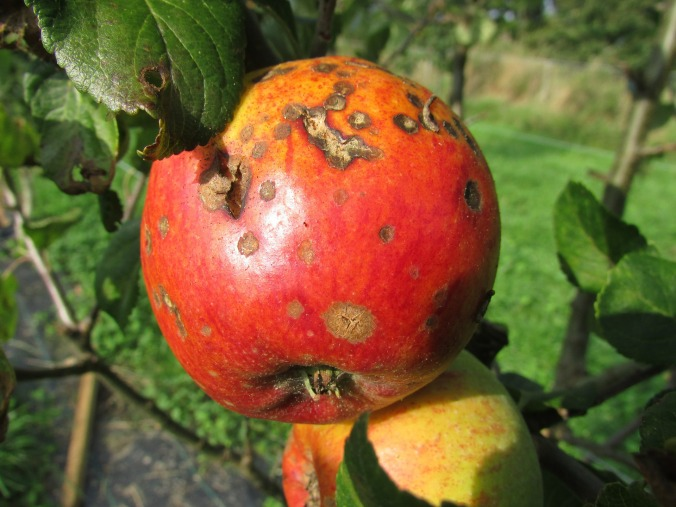 apple-455436_1920